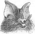 Rhinolophus luctus ras.jpg