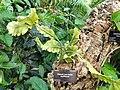 Rhipsalis teres forma capilliformis - Denver Botanic Gardens - DSC00912.JPG