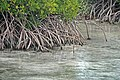 Rhizophora mangle (red mangrove) (San Salvador Island, Bahamas) 2 (15598675449).jpg
