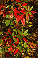 Rhododendron 'Conewago Improved' Autumn Colors 2000px.jpg