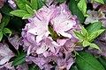 Rhododendron catawbiense Grandiflorum 12zz.jpg