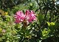 Rhododendron hirsutum kz01.jpg