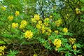 Rhododendron luteum - Sheffield Park and Garden - East Sussex, England - DSC05507.jpg