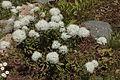 Rhododendron tomentosum 031.jpg