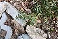 Rhododendron tomentosum 6865.JPG