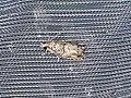 Rhopobota naevana (43866352071).jpg