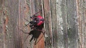 File:Rhynocoris annulatus juvenile - 2012-04-28.ogv