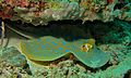 Ribbontail Stingray (Taeniura lymma) (6083315056).jpg