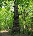 Rieseneiche Sauerbusch.jpg