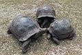 Riesenschildkröten auf den Seychellen (24749002177).jpg