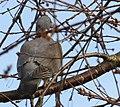 Ringduva Wood Pigeon (13042568553).jpg