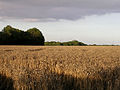 Ripe wheatfield south of Lepe Farm, Lepe - geograph.org.uk - 33299.jpg