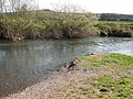Riverside willows - geograph.org.uk - 1219206.jpg