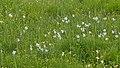 Roßleithen Gierer Streuwiese Weiße Narzisse Narcissus poeticus und Schlangen-Knöterich Bistorta officinalis-3949.jpg