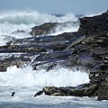 Rockhopper Penguins tossed around by the waves (5562027443).jpg