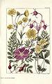 Rocky mountain flowers (Plate 25) (6279688541).jpg