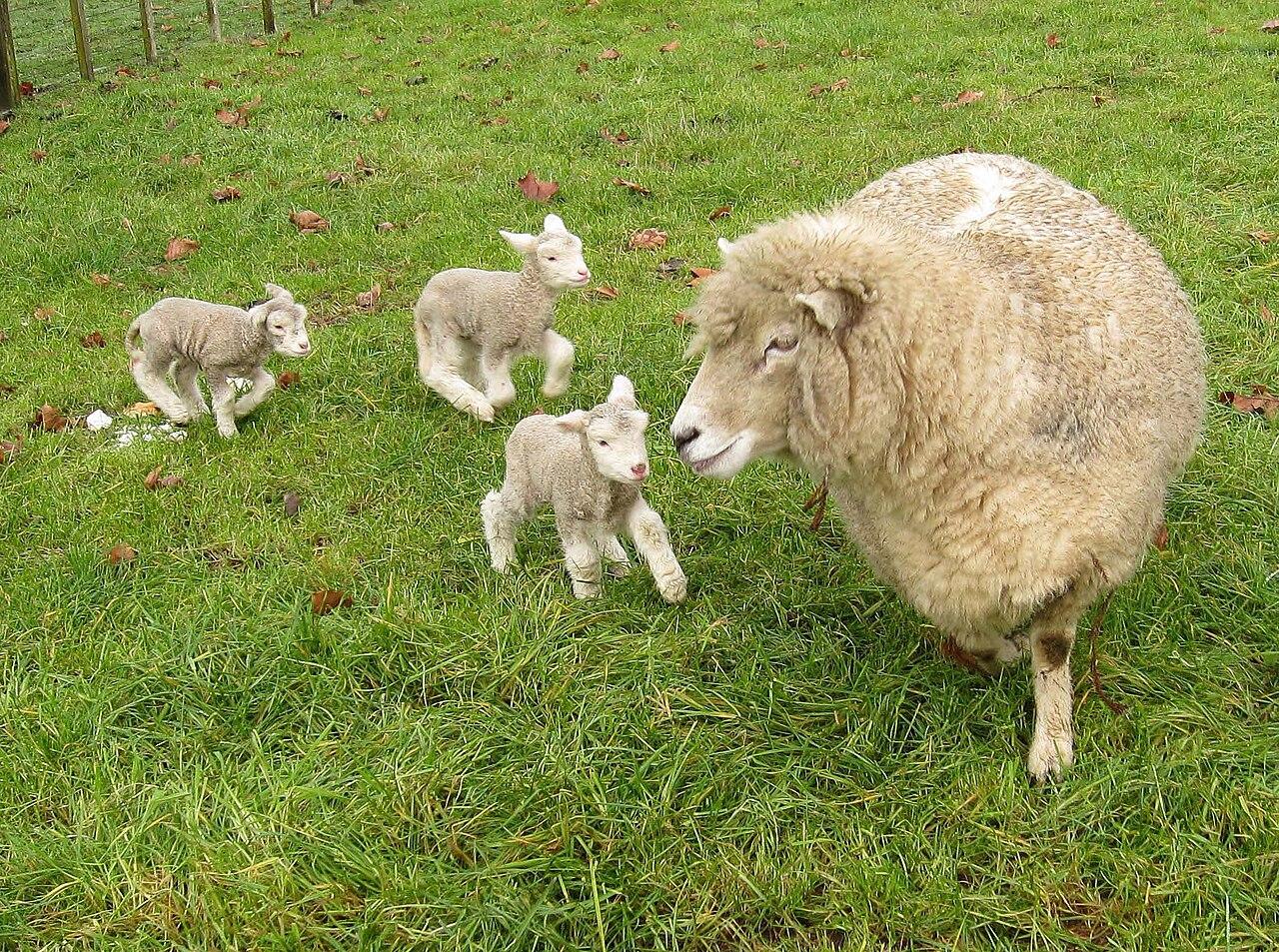 Three sheep - photo#35
