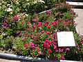 Rosa 'Perla de Alcanada' P. Dot 1944 RPO.jpg