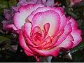 Rosa Handel 2015-06-20 3464.jpg