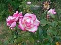 Rosa Handel 2018-07-10 5965.jpg