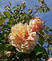 Rosa Reve dOr 3.jpg