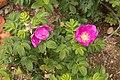 Rosa rugosa 12.jpg