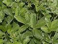 Rosaceae - Potentilla nepalensis-001.jpg
