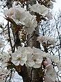 Rosales - Prunus padus - 21.jpg