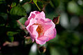 Rose, Bingo Meidiland - Flickr - nekonomania.jpg