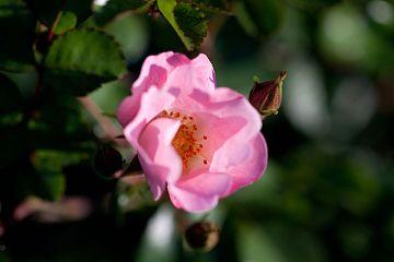 Rose, Bingo Meidiland - Flickr - nekonomania.jpg