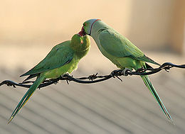 Rose-ringed Parakeets (Male & Female)- Foreplay at Hodal I Picture 0075.jpg
