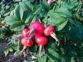 Rose hip in Germany 2016.jpg