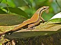 Rough Mabuya (Eutropis rudis) (8093463798).jpg
