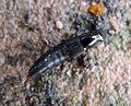 Rove Beetle. Staphylinidae - Flickr - gailhampshire.jpg