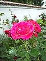 Roza-v-muzeia.jpg