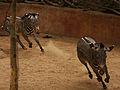 Running Zebras (3847915566).jpg