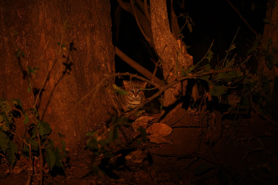 Rusty spotted cat 2