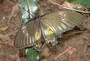 Sinharaja Forest Reserve - Image: SL60butterfly