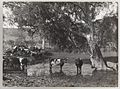 SLNSW 919857 Series 02 Cattle ca 19211924.jpg