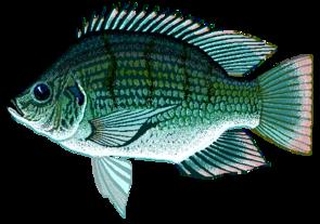 Sarotherodon galilaeus