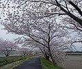 Sakura , 桜 - panoramio (9).jpg