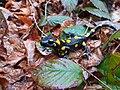 Salamandra nel bosco.jpg