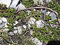 Salix retusa01.jpg