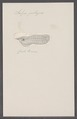 Salpa pelagica - - Print - Iconographia Zoologica - Special Collections University of Amsterdam - UBAINV0274 092 08 0038.tif