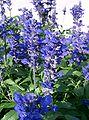 Salvia farinacea3.jpg
