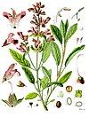 Salvia officinalis - Köhler–s Medizinal-Pflanzen-126.jpg
