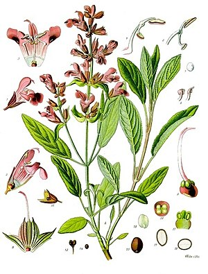 Heilsalbei (Salvia officinalis), Illustration