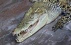 Salzwasserkrokodil Crocodylus porosus.jpg
