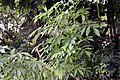 Sambucus mexicana 1zz.jpg