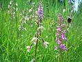 Samerberger Streuwiese mit Orchideen 2.jpg